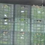 Incautados 2.200 kilos de hachís ocultos entre 12 toneladas de acelgas.