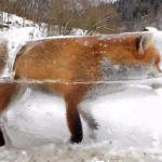 ¿Que si hace frío en Alemania? La foto de un zorro congelado nos demuestra que…SÍ