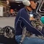 Mira dos gatos moteros con casco y todo!!