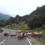 Un conductor graba el brutal ataque de una oveja a una mujer pastora