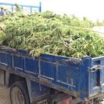 La Guardia Civil necesitó un camión para sacar toda la marihuana hallada en Sineu