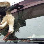El trágico final de una cigüeña, empotrada en el parabrisas de un camión