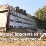 Aparatoso vuelco de un camión cargado de cerdos en la A-42