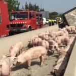 Vuelca un camión con cerdos en Vila-seca