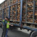 Investigan a un hombre que transportaba en un camión 8.000 gallinas en «estado deplorable»