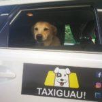 «TaxiGuau» Nace un servicio de taxi para mascotas a nivel nacional