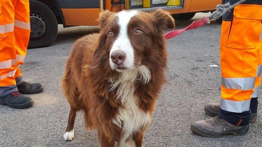 imatge del gos pastor que han mostrat els agents policia local fogars seva 1552133782610