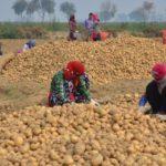 PepsiCo demanda a agricultores de la India por cultivar patatas con marca registrada
