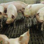 Un camionero de 61 años muere enterrado bajo su carga, despojos de cerdo
