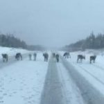 Un camionero se tropieza con una manada de Renos, ¿Serán los Renos de Santa Claus?