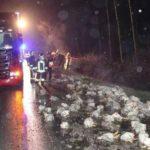 Un camión se sale de la carretera y pierde mil pollos