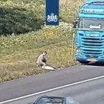 Un camionero realiza un «acto heróico» con un cisne herido en una carretera holandesa