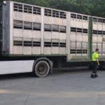 Un camión de ganado, con las ruedas en los alambres y exceso de velocidad
