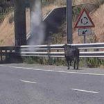 Matan a tiros a un toro que se había escapado de un camión en la entrada de Toledo