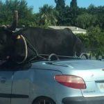 Un toro en el asiento trasero de un coche descapotable en Francia enciende las redes. ¿Real o estatua?.  Vídeo